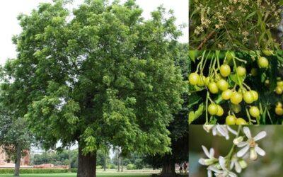 L'olio di neem