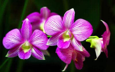 Come coltivare le orchidee